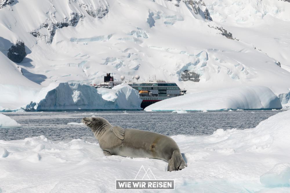 Robbe auf einer Eisscholle mit der MS Midnatsol im Hintergrund