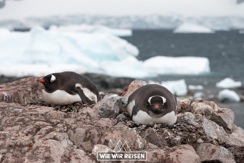 Eselspinguine auf der chilenischen Antarktis Station Gonzales Videla