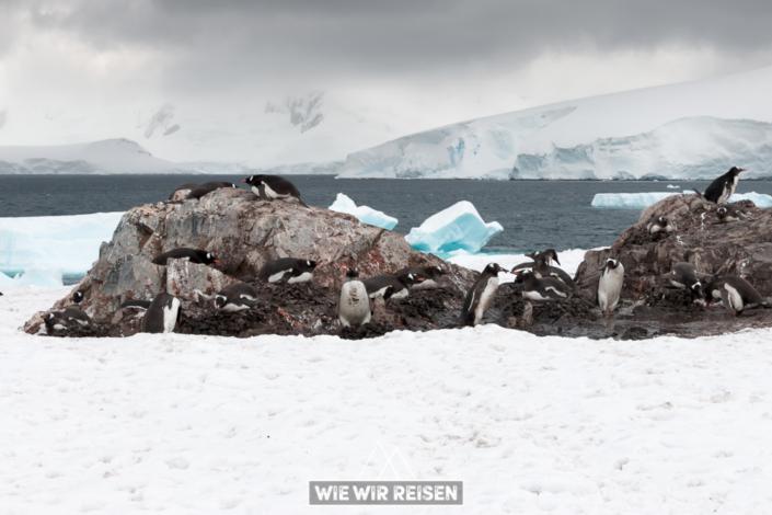 Eselspinguine bei Gonzales Videla in der Antarktis